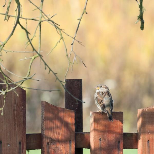 Singvogel auf Gartenzaun